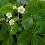 Wild strawberry flowers - Fragaria vesca — Stock Photo #44083359