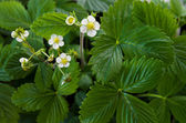 Wild strawberry flowers - Fragaria vesca — Stock Photo