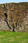 Plant clinging to stone wall — Stock Photo