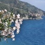 Flowers of Cinque Terre — Stock Photo