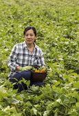 Zbioru fasoli w dziedzinie dużej zielonej fasoli — Zdjęcie stockowe