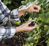 Blackberries Being Hand Selected — Stock Photo