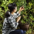 Inspecting Berries during the Harvest — Stock Photo