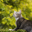 Stock Photo: Hunting Grey Tabby Cat