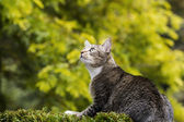 Hunting Grey Tabby Cat — Stock Photo