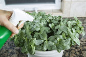 Indoor Plant Maintenance — Stock Photo