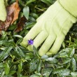Stock Photo: Cleaning Flower Bed
