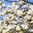 White Star Magnolia Flower in Bloom  — Stock Photo