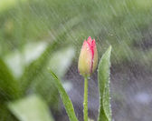 Enda blomma i vårregn — Stockfoto