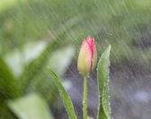 única flor em chuva de primavera — Foto Stock