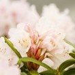 New Spring Rhododendron in pink — Stock Photo