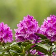 Stock Photo: Washington State Coast Rhododendron Flower in full Bloom