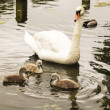 Mother Goose watching her Baby Chicks on the water  — Stock Photo