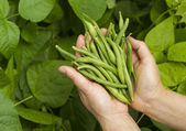 Hands filled with Fresh Green Beans from the Garden — Stock Photo