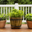 Home Herb Garden containing Large Flat Leaf Basil Plants — Stock Photo