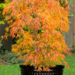 Small Japanese Maple in Pot during Autumn Season — Stock Photo