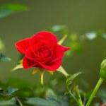 Wild Red Rose during Spring Season — Stock Photo #44943937