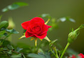 Wilde rote rose in der saison frühling — Stockfoto