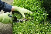 Trimming Hedges with Manual Shears  — Stock Photo