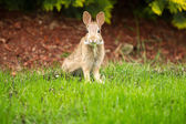 Young Healthy Wild Rabbit eating fresh Grass from Yard  — Stock Photo