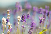 Lavender Flowers in bright day light during summer  — Stock Photo