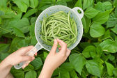 Hand Picking Fresh Bush Green Beans from Garden — Stock Photo