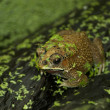 Little Frog — Stock Photo