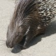 Indian Crested Porcupine — Stock Photo