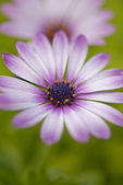 African daisy flower — Photo
