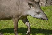 South American Tapir — Stock Photo