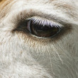 Stock Photo: Lama's Eye