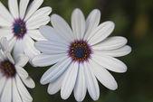 African Daisy Flowers — Stock Photo
