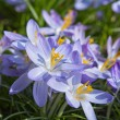 Crocus — Stock Photo #22173191