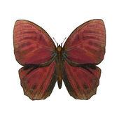 红公鸡蝴蝶 — 图库照片