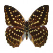Stock Photo: Speckled Hen Butterfly