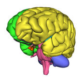 Human Brain Diagram — Stock Photo