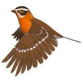 Songbird Grosbeak — Stock Photo