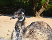 Close-up of Emu in a zoo — Stock Photo