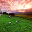 Goats in green grass on sunrise - Photo