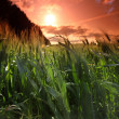 Summer field of wheat - Photo
