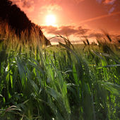 Summer field of wheat — Stock Photo