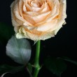 Orange rose — Stock Photo #12227692