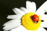 Ladybug on camomile — Stock Photo