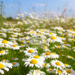Field with white daisies — Stock Photo