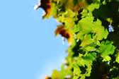 Cerrar las hojas de otoño — Foto de Stock