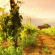 Vineyard in france on sunrise — 图库照片