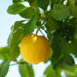 Stock Photo: Lemon close up