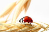 Ladybug on wheat — Stock Photo