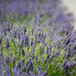 Royalty-Free Stock Photo: Lavender flowers close up