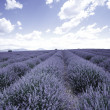 Lavender field — Stock Photo #12521452